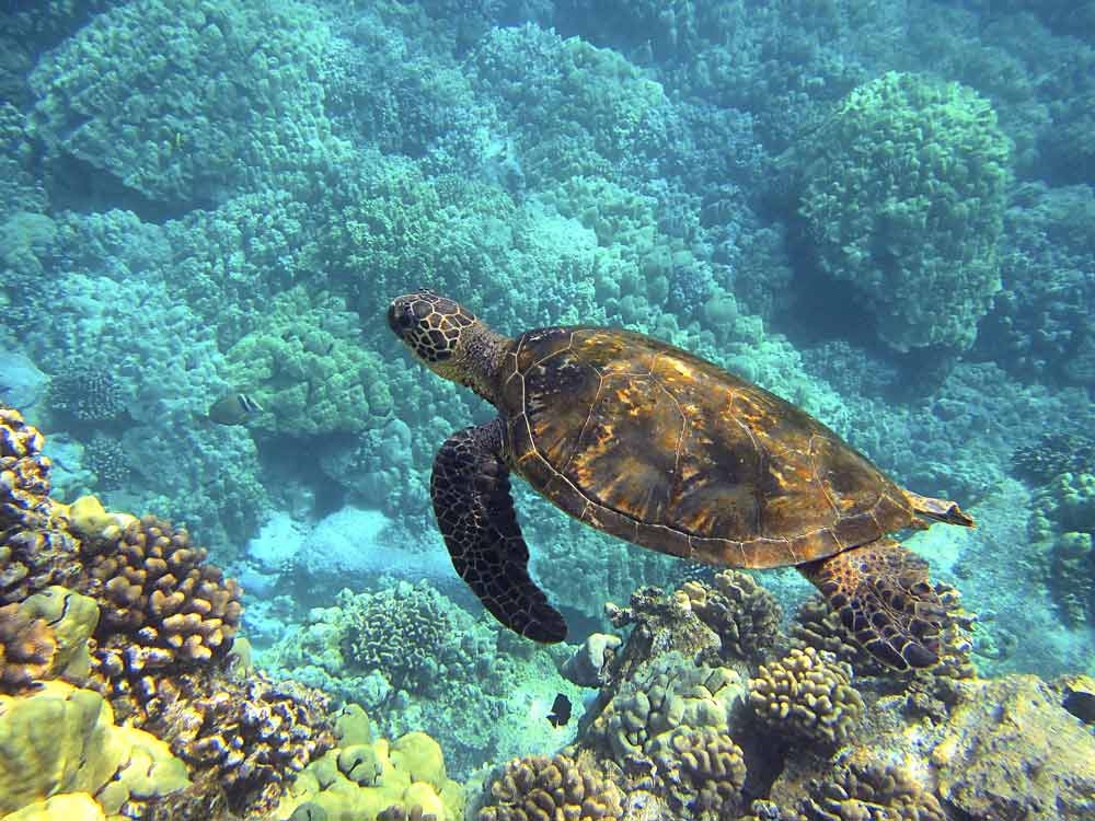 Meeresschildkröten bei einer Yucatan Rundreise in Mexiko