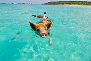 Schwimmende Schweine beim Bahamas-Urlaub in der Karibik
